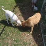 Jezebel and Sarah Dog Gilford having fun together in the play yard!